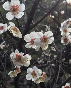 Plum blossoms Heian Jingu Shrine garden #kyoto