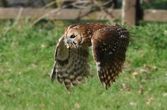 Tawny Owl | File:Tawny Owl.jpg
