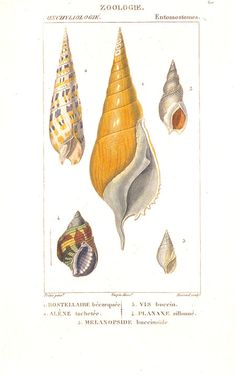 Village Antiques: Turpin - Sea Shells - Two Handcolored Antique Prints
