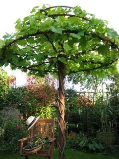 Vines trained as an umbrella.....cool!