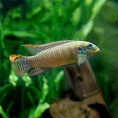 Pelvicachromis taeniatus Muyuka male