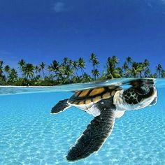 A one sea turtle that seems to be making its journey for the first time to the ocean | Photography © David Doubilet