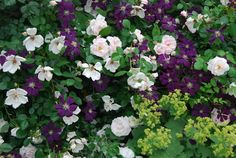 Old pink rose with Clematis 'Etoile Violette' growing through it and lad. - Garden Style - Old pink rose with Clematis 'Etoile Violette' growi Purple Clematis, Clematis Vine, Rosa Rose, Garden Pictures, Garden Borders, Climbing Roses, Day Lilies, Outdoor Plants, Garden Styles