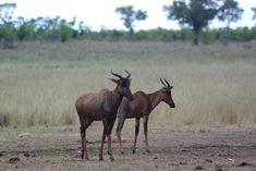 Tsessebe in Kruger National Park