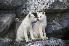 brujas y lobos Beautiful Creatures, Animals Beautiful, Arktischer Wolf, Of Wolf And Man, Wolf World, Arctic Wolf, Arctic Tundra, Wolf Life, Wolf Pictures
