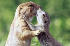 Prarie dogs say hello with kisses