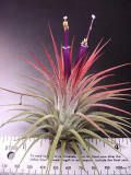 Tillandsia ionantha- (Guatemalan Form) I have this. It gets that blush they describe right before they flower.