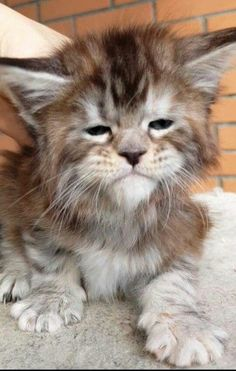 What is the Average Maine Coon Lifespan - Especially video fassino me everything is very beautiful message, thank God bless you always love y - Fluffy Kittens, Kittens And Puppies, Cute Cats And Kittens, Cool Cats, Kittens Cutest, Kittens Playing, Pretty Cats, Beautiful Cats, Animals Beautiful