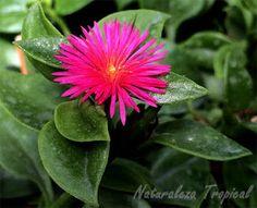 La suculenta que tendrás siempre florecida, Aptenia cordifolia Beautiful Flowers, Flores, Plants, Nature, Succulents Garden, Flowers, Green, Sedum, Garden