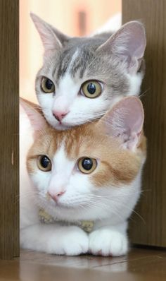 Awesome pretty cats tips are available on our site. look at this and you wont be sorry you did. Pretty Cats, Beautiful Cats, Cute Kittens, Cats And Kittens, Ragdoll Kittens, Cat Couple, Tier Fotos, Cute Little Animals, Baby Cats