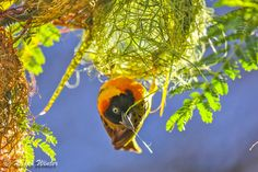 Home Maker - The early morning rays managed to beautifully back-light this weaver bird's half built nest. In his indefatigable instinct to prepare a new nest for a female to approve of, he returned half a dozen times as the sun slowly changed angle and temperature. I chose this one out of the series as it best reflects the conditions and determination of the day.