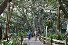 Banyan Tree Canopy at the Edison & Ford Winter Estates - Fort Myers, Florida.