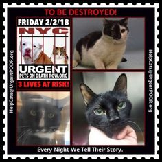 "TO BE DESTROYED 02/02/18 - - Info   Please share View tonight's list here: http:// nyccats.urgentpodr.org/ tbd-cats-page/. The shelter closes at 8pm. Go to the ACC website( http:/www.nycacc.org/ PublicAtRisk.htm) ASAP to adopt a PUBLIC LIST cat (noted with a ""P"" on their profile) a… CLICK HERE FOR ADDITIONAL INFO/P...-  Click for info & Current Status: http://nyccats.urgentpodr.org/to-be-destroyed-32017/"