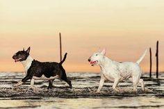 Along the Sunshine Bullyvard #clairethebullterrier #LiveForTheStory #365dagenzomer #sunsetsky #zoomnl #strand #zonsondergang #beachfun #splash #alicevankempen #rockanje #voorneputten #westvoorne