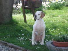 my dog english   pointer LEDA