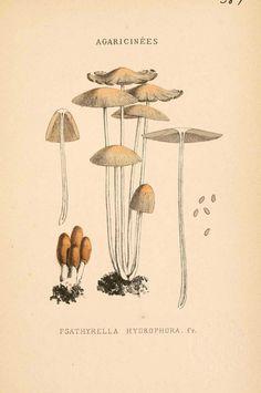img/dessins-gravures champignons/psathyrella hydrophora.JPG