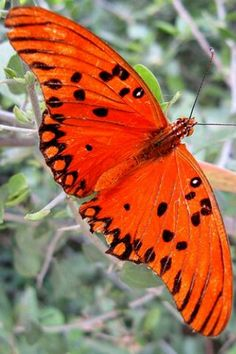 εїз⁀°•.ᗷᘎʈʈᏋᖇƑԼϓ.•°⁀εїз  A Gulf Fritillary butterfly