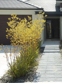 Yellow Kangaroo Paw is a drought tolerant plant and grows quite tall. Really beautiful.