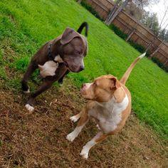 jmich23:that Lady & the Tramp love #Champ #Athena #Pitbulls #PitbullsOfInstagram #BluePits #Pits #LikeARednose