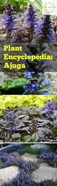 Plant Encyclopedia: Ajuga - Bless My Weeds