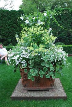 Deborah Silver - white mandevillea, white angelonia, lime nicotiana alata, gobs of silverberry mini petunias and variegated plectranthus,