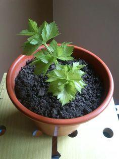 Como rebrotar apio sin semilla. Sencillo y muy útil. Os lo recomiendo. http://ecoinventos.com/apio-sin-semilla/
