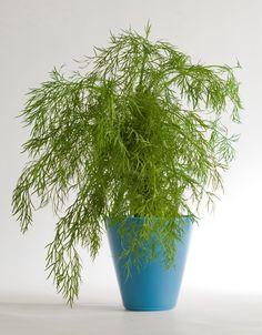 Tillin kasvatus Vegetable Garden, Garden Plants, Herbs, Gardening, Vegetables, Vegetables Garden, Lawn And Garden, Herb, Vegetable Recipes