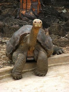 Giant Tortoise.  What an expression