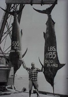 Two black marlin caught on the same day in 1952 off the coast of Cabo Blanco, Peru. The world record black marlin, a 1560-pound fish,  was caught in this same area one year later, in 1953.
