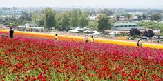 Carlsbad Flower Fields San Diego, USA