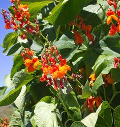 Scarlet Emperor Runner Bean Seeds is a bean seed for growing in your organic vegetable garden. Learn how to grow runner beans by planting Scarlet Emperor, the best scarlet runner bean variety of all.