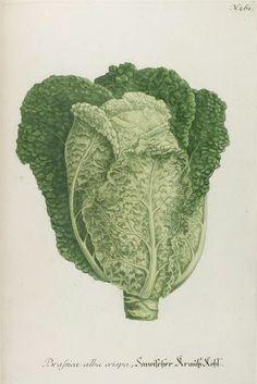Cabbage, Savoischer Krauß-Kohl, Johann Wilhelm Weinmann, Phytanthoza iconographia, sive, Conspectus aliquot millium, 1737. Regensburg, Germany