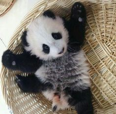 Baby Panda needs a hug. Cute Creatures, Beautiful Creatures, Animals Beautiful, Cute Little Animals, Cute Funny Animals, Baby Panda Bears, Baby Pandas, Panda Love, Cat Dog