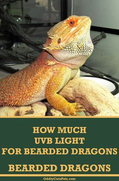 Learn how much UVB bearded dragons require to have a healthy life and the difference in the lights they need. Bearded Dragon Heat Lamp, Bearded Dragon Lighting, Bearded Dragon Care Sheet, Bearded Dragon Habitat, Reptile Heat Lamp, Lizard Girl, Cute Reptiles, Bone Diseases, Pet Health