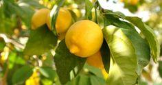Caring for Meyer Lemon tree