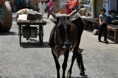 Cow in the road | Journalist Has Beef with Cow | FATHOM