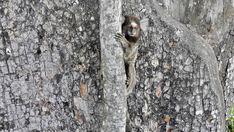 Weissbüschelaffe auf einem Baum, am Zuckerhut in Rio de Janeiro, beäugt neugierig Touristen.