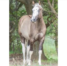 Grulla Sabino with Blue Eyes and the Belton Pattern