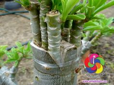 """This is another technique called """"Multi-V Grafting, this technique is great for multi-folower colors on single rootstock branch."""
