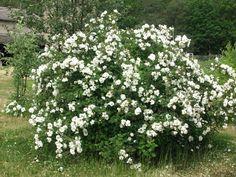 Juhannusruusu Garden Ideas, Herbs, Plants, Pink, Herb, Landscaping Ideas, Plant, Backyard Ideas, Planting