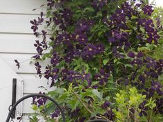 Four Tips for Growing Clematis Vines
