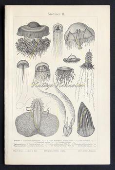 1899 Ocean Print Jellyfish sea creatures antique lithograph bookplate 114 years old German lithographic print Medusa, Sea Life Art, Sea Art, Ocean Life, Fauna Marina, Jellyfish Art, Ocean Scenes, Antique Prints, Vintage Prints