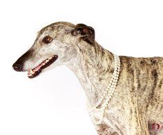 Daphnie Portrait: Spanish Grey Hound / Pet Photography / Dog / Denver / Colorado / Studio / Pet Photographer