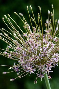 Allium schubertii : This is the firework allium par excellence, with vast wonderful dark pink, spiky flowers. My eccentric and showy favourite while flowering and when dried. Perennial Bulbs, Hardy Perennials, Home Flowers, Bulb Flowers, Dried Flowers, Dame Nature, Stipa, Tall Plants, Planting Bulbs