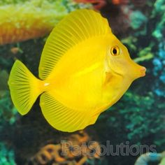 Yellow Tang. can't wait to actually SWIM with out instead of just pet it in the fish tank lol