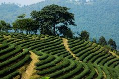 Doi Mae Salong, a tea field in the mountains of northern Thailand