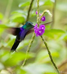The Fork-tailed Woodnymph Hummingbird (Thalurania furcata) stands still in the air as it beats it´s wings at an incredible speed.
