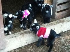 Pygmy goats in sweaters, like banana's in pajamas:)