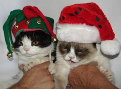 Catsparella: Grumpy Cat 'Tardar Sauce' Makes Her Today Show Debut (brother Pokey, Court Jester) Grumpy Cat Humor, Cat Memes, Grumpy Cats, Crazy Cat Lady, Crazy Cats, Grumpy Cat Christmas, Merry Christmas Everyone, Funny Cute, Hilarious
