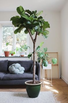 Ficus lyrata (hejregina) for My sewing room Interior Wood Shutters, Interior Plants, Interior Exterior, Interior Doors, Indoor Fig Trees, Indoor Flowering Plants, Balcony Plants, House Plants Decor, Ficus